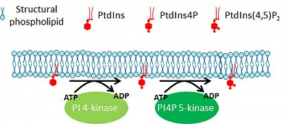 PIs are the phosphorylated derivatives of the phospholipid phosphatidylinositol (PtdIns). The illustration shows a simplified view of the phosphorylation sequence leading from PtdIns to PtdIns 4-phosphate (PtdIns4P) and PtdIns 4,5-bisphosphate (PtdIns(4,5)P2. Beside those shown, other phosphorylations are also possible. PI 4-kinase and PI4P 5-kinase are important key enzymes of PI metabolism. (from Heilmann & Heilmann, Plant Biol. (Stuttg), 2012)