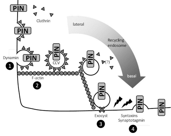 Control Of Plant Endocytosis And Exocytosis By Pis